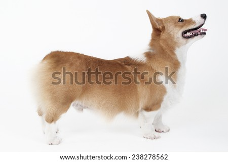 Side view welsh corgi
