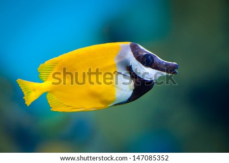 Siganus vulpinus in an aquarium on a green background - stock photo