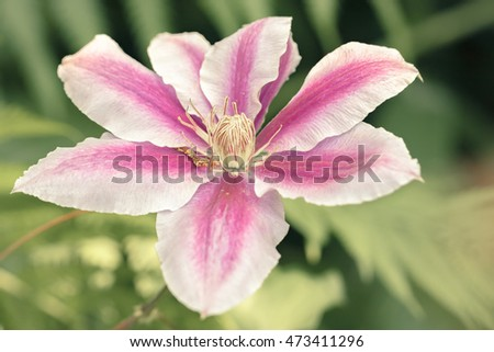 Sightly toned image of single pink and white clematis.