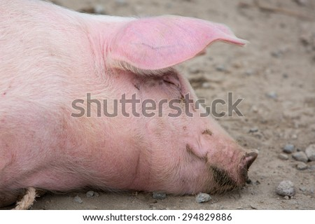 Signle pink pig wallowing in the mud at an outdoor live animal market in Otavalo, Ecuador - stock photo