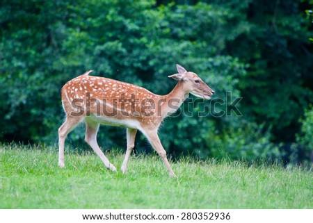 Sika deer - Cervus Nippon. - stock photo