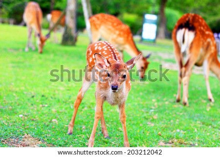 Sika Deer (Cervus nippon) fawn in Japan - stock photo