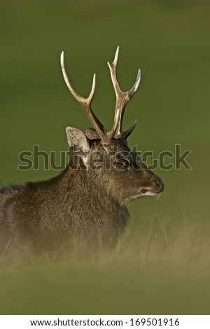 Sika deer, Cervus nippon, single male on grass, Kent