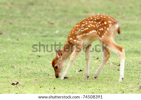 sika deer fawn eating grass - stock photo