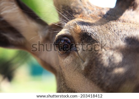 Sika deer head. - stock photo