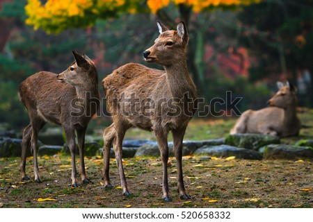 Sika deer resting and grazing in park lands of Nara, Japan