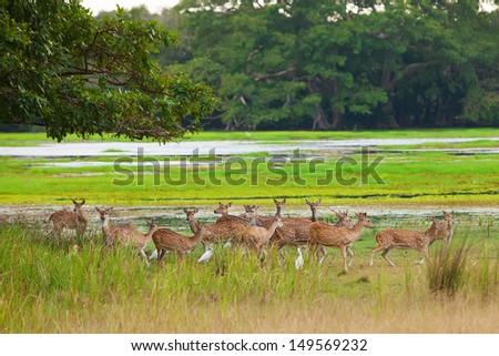 Sika deers in jungls of Sri Lanka - stock photo