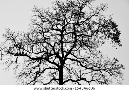Silhouette branch tree, Black and white - stock photo