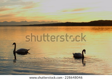 Silhouette couple swans floats on lake at sunset, as background - stock photo