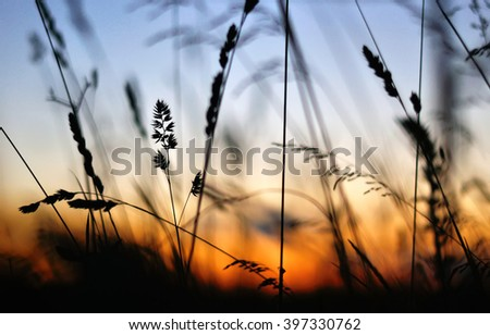 silhouette dry grass at sunset - stock photo