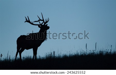 Silhouette image of a large bull Elk stag against a cool blue sky Rocky Mountain Elk, Cervus canadensis