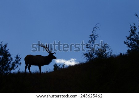 Silhouette image of a large trophy class elk stag in sub alpine habitat with natural blue sky background Rocky Mountain Elk, Cervus canadensis