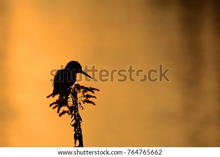 silhouette kingfisher at dusk