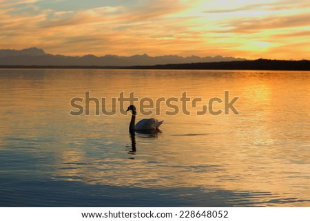 Silhouette lonely swan floats on lake at sunset, as background - stock photo
