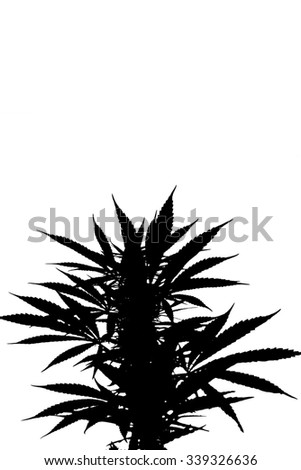 silhouette macro shot of a living bush of cannabis isolated on white background - stock photo