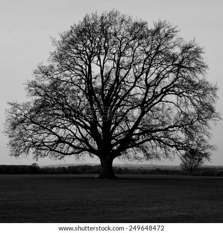 Silhouette of a Bare Oak Tree in Black and White - stock photo