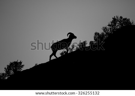 Silhouette of a Bighorn Sheep walking up a hill - stock photo