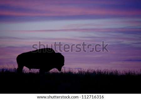 Silhouette of a Bison / Buffalo against a colorful sunset, Montana; purple sky / prairie wildlife - stock photo