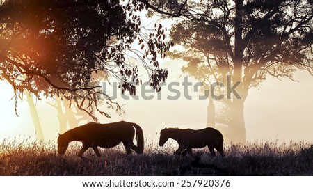 Silhouette of a Brumby Mare and her Foal at first light.