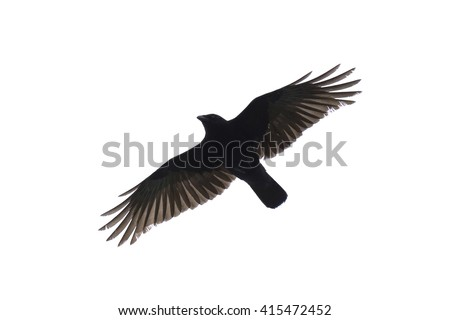 Silhouette of a carrian crow with wide-spread wings isolated against white background.