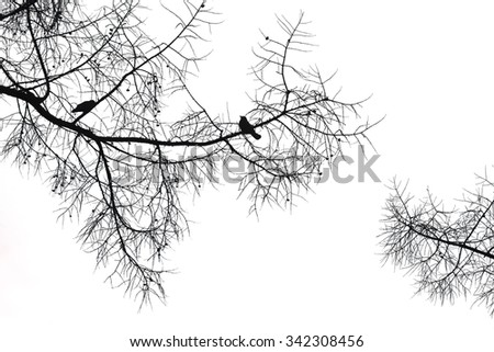 Silhouette of a crow on a coniferous tree on white background. - stock photo
