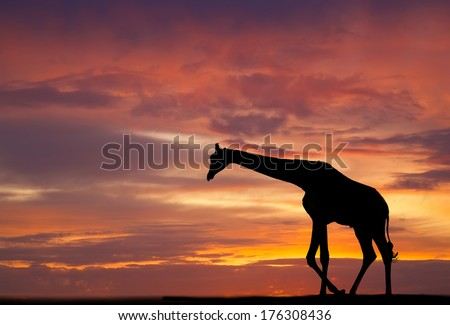 Silhouette of a giraffe against a beautiful sunset - stock photo