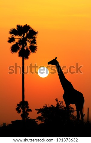 Silhouette of a giraffe eating leaves at twilight. - stock photo