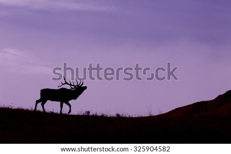 Silhouette of a large bull Elk stag walking on the prairie against the sky at sunrise   Rocky Mountain Elk, wapiti, Cervus canadensis - stock photo