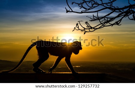 Silhouette of a monkey in sunset - stock photo