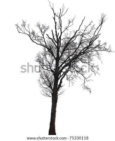 Silhouette of a single birch tree in winter isolated on white - stock photo