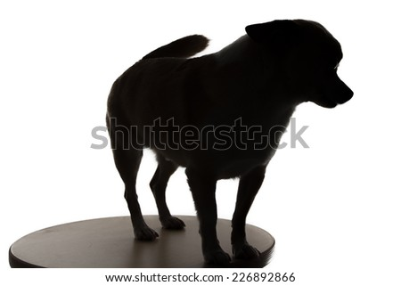 Silhouette of a small dog chihuahua on white background - stock photo