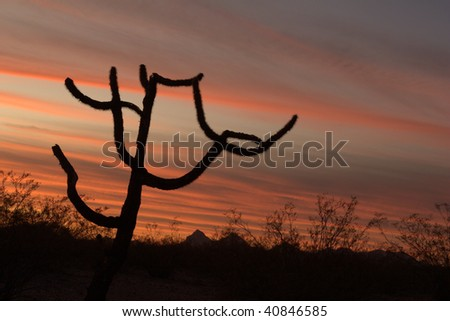 Silhouette of a Staghorn cholla cactus (Opuntia versicolor) seen at with a brilliant sunset of vivid streaks of light. - stock photo