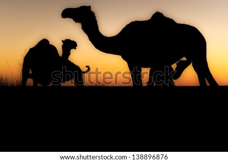 Silhouette of a wild camel at sunset