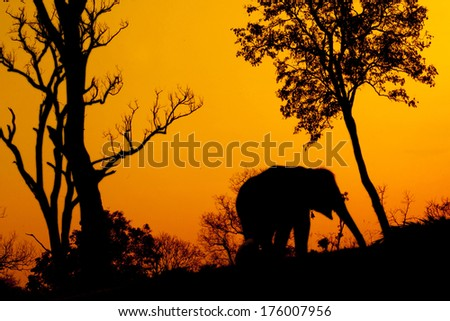 silhouette of african elephant against orange dusk dawnwith tree  - stock photo