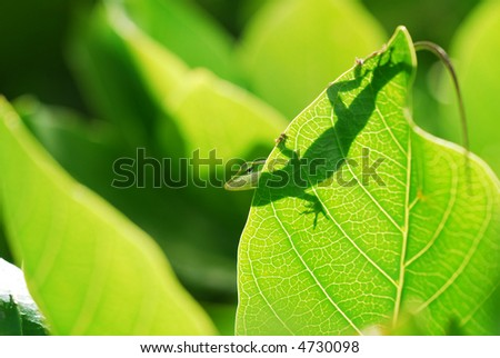 Silhouette of an anole Lizard on a plant in Hawaii - stock photo