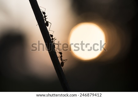 silhouette of an ant hanging in a branch with sunset in the background - stock photo