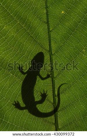 Silhouette of arboreal salamander, Bolitoglossa rufescens, on a leaf - stock photo