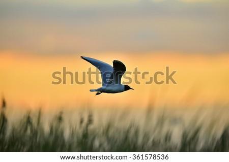 Silhouette of Black-headed Gull (Larus ridibundus) flying on sunset. Natural sunset red sky background, - stock photo