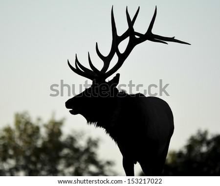 Silhouette of bull elk during rut - stock photo