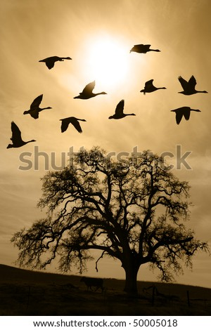 Silhouette of flying geese over aged bare oak tree in Winter, San Joaquin Valley, California.. - stock photo