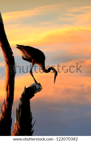 Silhouette of Great Blue Heron Looking Down from His Perch in the Dead Tree at Sunset - stock photo