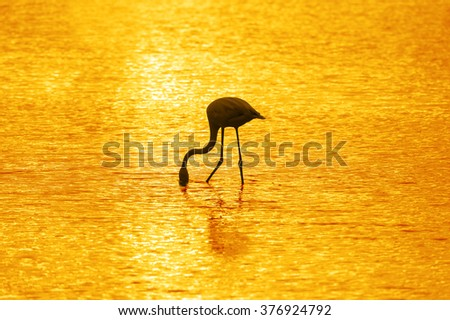 Silhouette of Greater Flamingo in the morning sun - stock photo