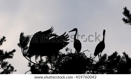 Silhouette of Grey Heron chicks on the nest - stock photo