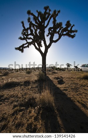 Silhouette of Joshua Tree in National park - stock photo