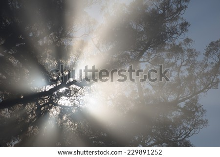 Silhouette of large tree in morning mist - stock photo