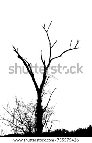 Silhouette of leafless dying tree on a white background. Smaller water sprouts are growing out of the bottom of tree on the prairie grasses.