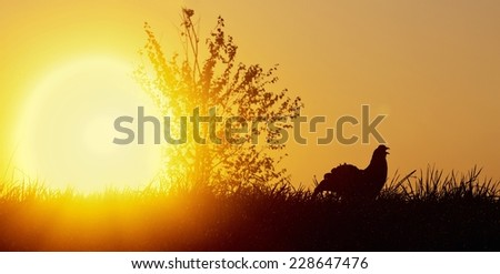 Silhouette of Lekking Black Grouse ( Lyrurus tetrix) against the dawn sky. Early morning Backlight. Sunrise   - stock photo