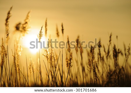 Silhouette of long grasses against the sun