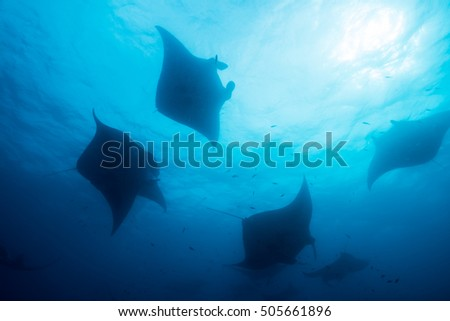 Silhouette of manta ray