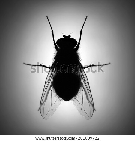 Silhouette of The House Fly ( Musca domestica ) dangerous carrier of pathogens.  - stock photo